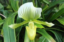 Load image into Gallery viewer, Paph. Red Shift × Maudiae
