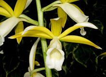 Load image into Gallery viewer, Phaius tankervilleae var. alba