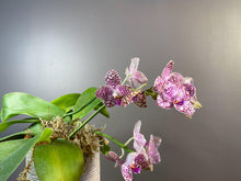 Load image into Gallery viewer, Phal. Brother Glory - Roehampton Orchids, rare hard to find unique , cattleya, phalaenopsis, jewels, terrarium, vivarium plants