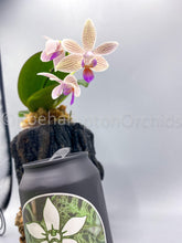 Load image into Gallery viewer, Phal. Li'l Bit - Roehampton Orchids
