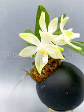 Load image into Gallery viewer, Phal. Tetraspis alba 'green'