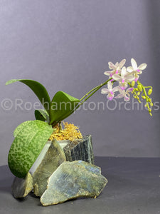 Phal. Venus x lindenii - Roehampton Orchids, rare hard to find unique , cattleya, phalaenopsis, jewels, terrarium, vivarium plants