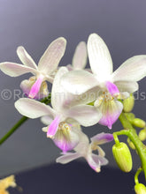 Load image into Gallery viewer, Phal. Venus x lindenii - Roehampton Orchids, rare hard to find unique , cattleya, phalaenopsis, jewels, terrarium, vivarium plants