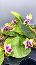 Load image into Gallery viewer, Phal. bellina f. coerulea - Roehampton Orchids