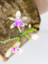 Load image into Gallery viewer, Phal. deliciosa