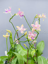 Load image into Gallery viewer, Phal. equestris x tetraspis livida