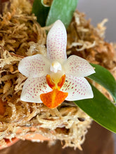 Load image into Gallery viewer, Phal. Mini Mark - Roehampton Orchids, rare hard to find unique Orchids, cattleya, phalaenopsis, jewels, terrarium, vivarium plants