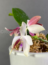 Load image into Gallery viewer, Phal. tetraspis C1 - Roehampton Orchids, rare hard to find unique , cattleya, phalaenopsis, jewels, terrarium, vivarium plants