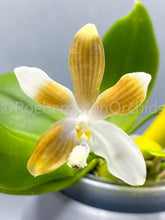 Load image into Gallery viewer, Phal. tetraspis f. coffee - Roehampton Orchids