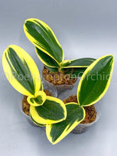 Load image into Gallery viewer, Phal. Sogo Vivien (variegated) - Roehampton Orchids