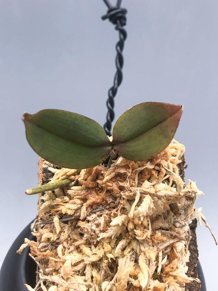 Phal. lowii - Roehampton Orchids