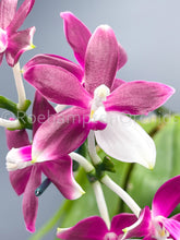 Load image into Gallery viewer, Phalaenopsis tetraspis f. imperatrix 'Red Panda' (MC)