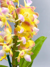 Load image into Gallery viewer, Rhynchorides Bangkok Sunset - Roehampton Orchids