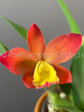 Load image into Gallery viewer, Rlc. Chiantzy Goldenorange - Roehampton Orchids, rare hard to find unique , cattleya, phalaenopsis, jewels, terrarium, vivarium plants