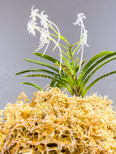 Load image into Gallery viewer, Vanda falcata Manyoukan*Kinbotan 万葉冠×金牡丹