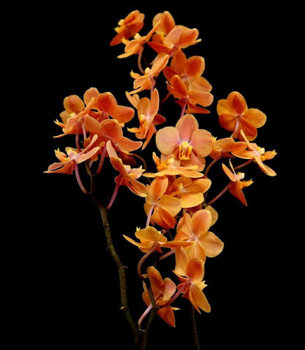 Vdnps. Jiaho's Orange - Roehampton Orchids