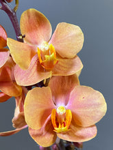 Load image into Gallery viewer, Vndps. Irene Dobkins - Roehampton Orchids, rare hard to find unique , cattleya, phalaenopsis, jewels, terrarium, vivarium plants