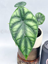 Load image into Gallery viewer, Alocasia dragon scale