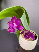 Load image into Gallery viewer, Phal. Shingher Pure Love x gigantea