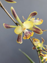 Load image into Gallery viewer, Encyclia alata - Roehampton Orchids