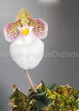 Load image into Gallery viewer, Paph. micranthum var eburneum - Roehampton Orchids