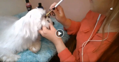 Maltese Grooming at Home LIVE Training