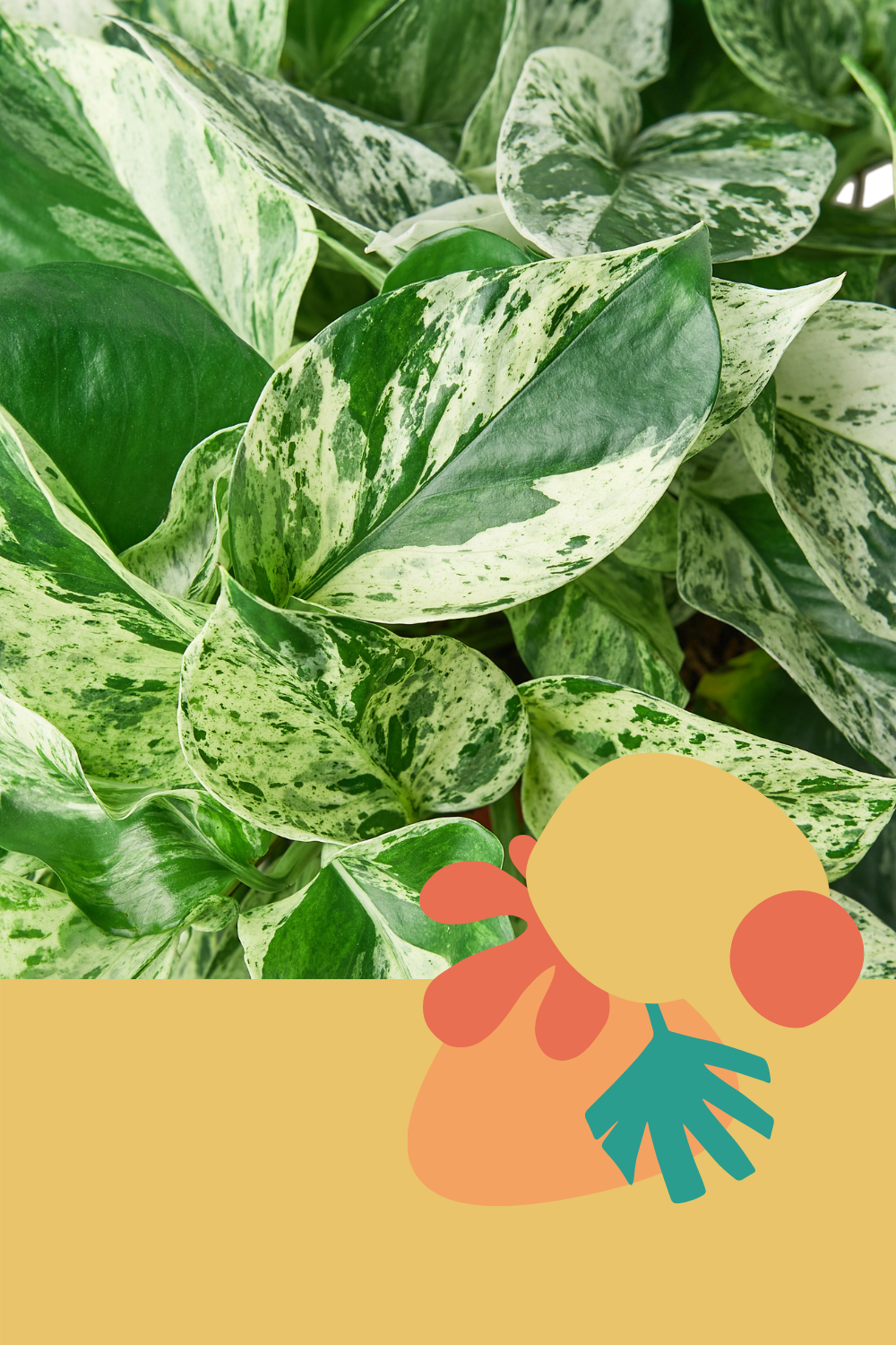Green Door Garden, Marble Queen Pothos, Snow Queen, White Variegation Pothos, Epipremnum Aureum Marble Queen, 4 in Pothos, Variegated Plants