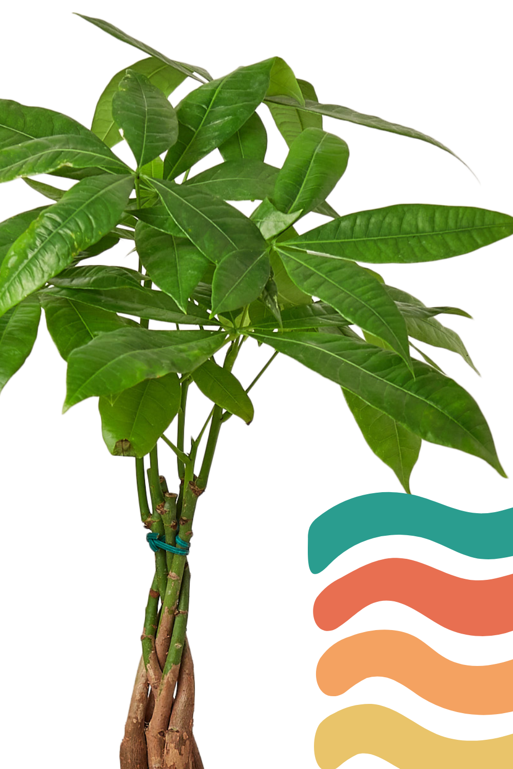 'Money Tree' Pachira Braid, chinese money tree, indoor houseplants