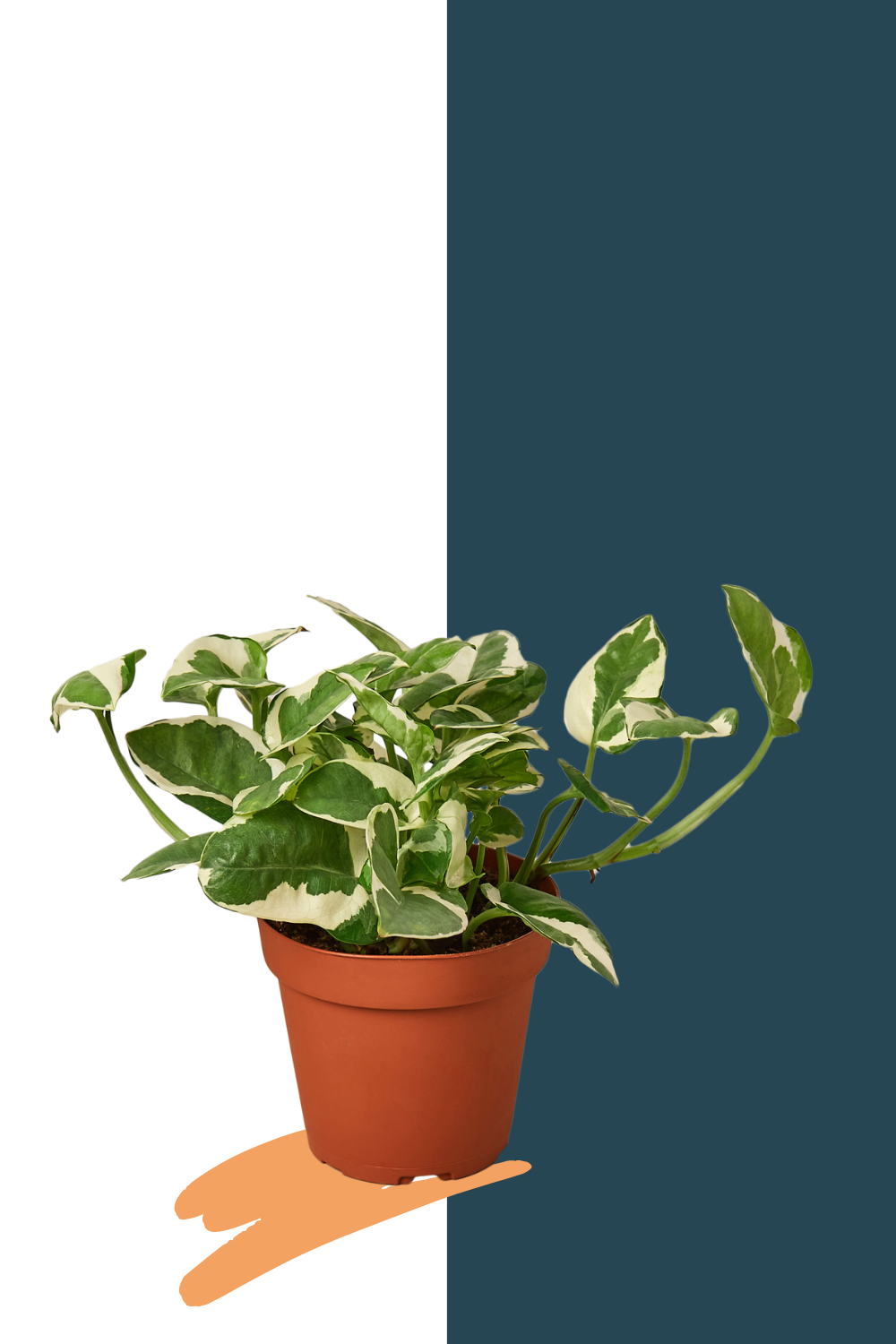Pearls n Joy pothos, pothos easy care plants for sale online, green door garden