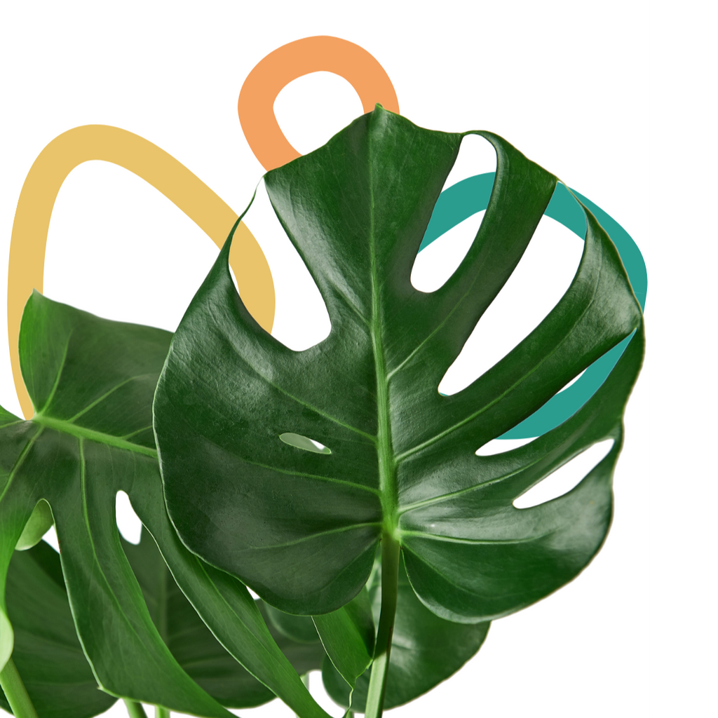 Monstera Deliciosa, Split Leaf Monstera