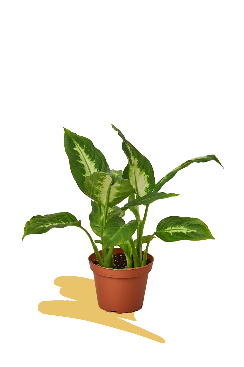 dieffenbachia camille, easy care plants, indoor plants, buy plants online