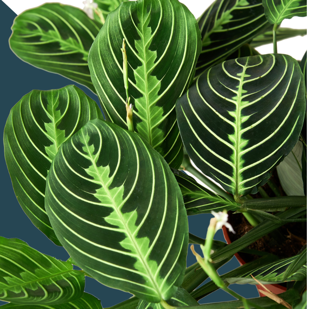 lemon lime maranta prayer plant, buy plants online, green door garden, maranta plant, prayer plants