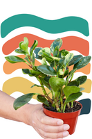 Marble Baby Rubber Plant, Peperomia Marble