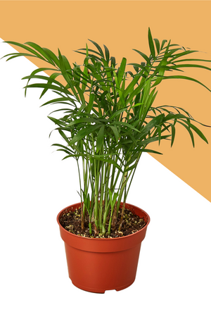 parlor palm, palms for sale, parlor palm for sale, houseplants online, indoor plants, green door garden