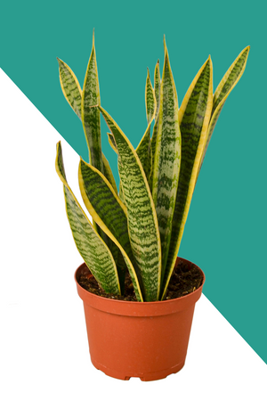 Snake Plant, Sansevieria Laurentii, easy care plants, beginner plants for sale, low light plants