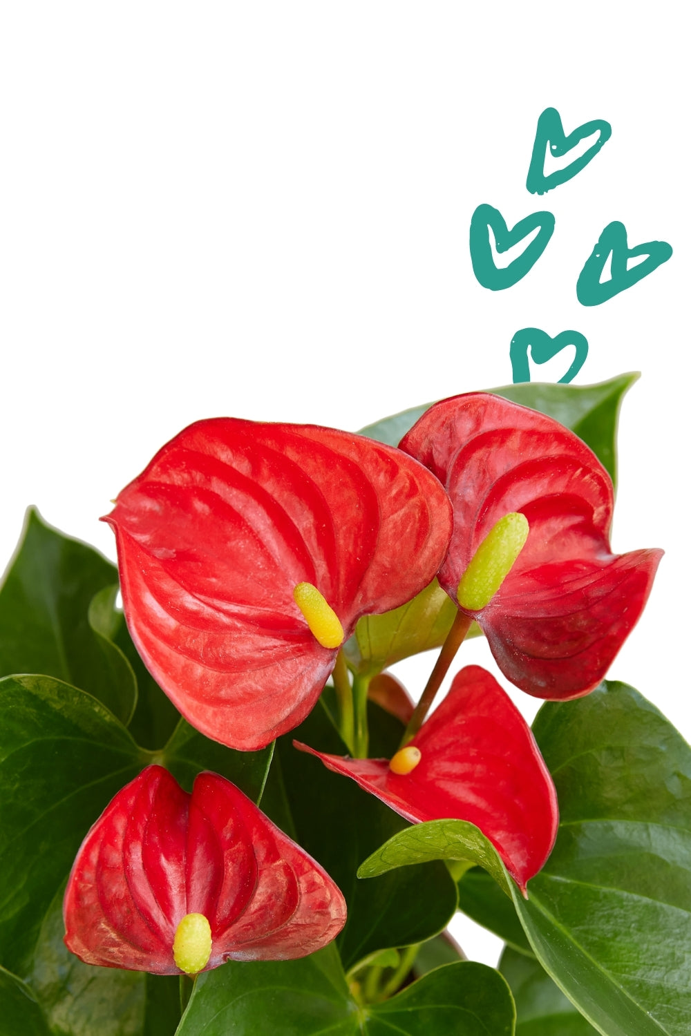 Flamingo Flower, Red/Pink/White Anthurium, valentines day flowers, valentines delivery flowers