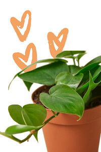Philodendron Cordatum Heartleaf, Low Light Plants, Easy Care Plant, Heart Philodenron, Heart Shaped Plants, Live Plant, Trailing Plant