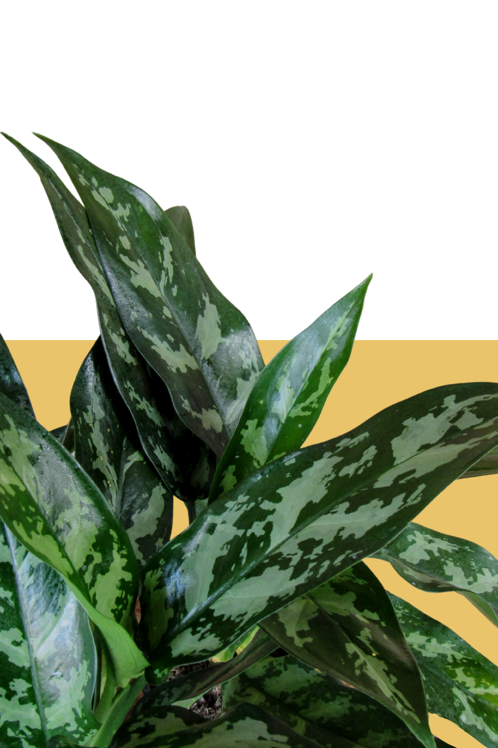 aglaonema maria, easy care low light houseplants, green door garden