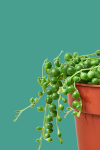 string of pearls for sale online, green door garden, string of pearls succulent
