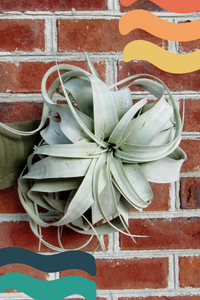 jumbo air plant for sale, Tillandsia xerographica for sale, large Tillandsia xerographica airplant for sale, big air plants, green door garden