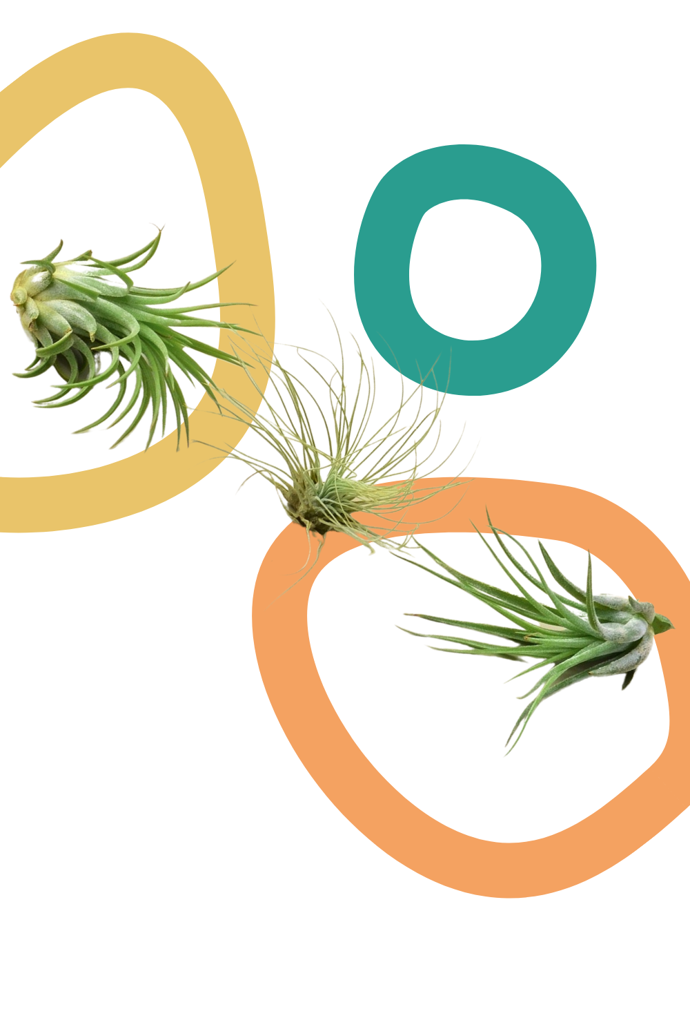 air plants, tillandsia, Green Door Garden, buy plants online