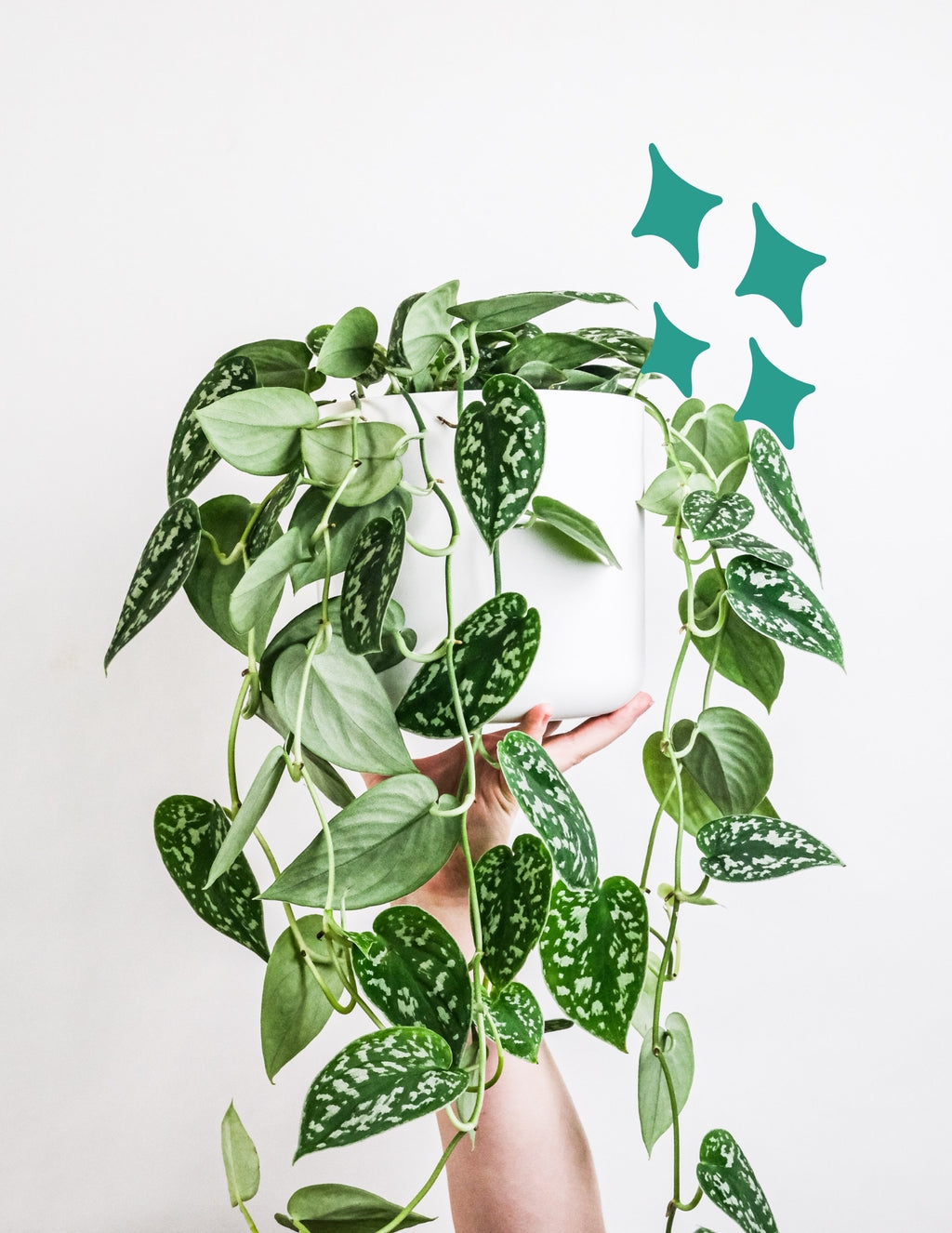 buy satin pothos online, plants for sale online, devils ivy for sale, buy houseplants online, buy pothos