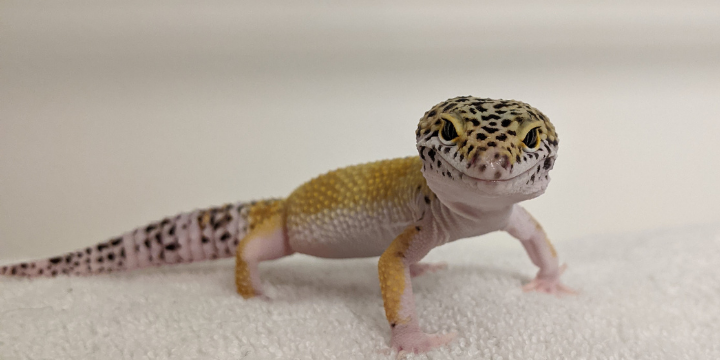 cheeky the gecko pic