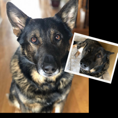 Healthy German Shepard pictured, with a smaller before picture when he wasn't feeling good due to dog allergies.