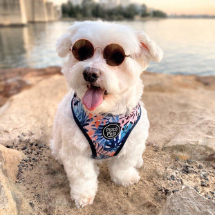 Pipco Pets Neck Adjustable Designer Harnesses and Leads - Coco the dog with sunglasses
