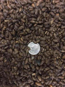 Small Dubia Roaches