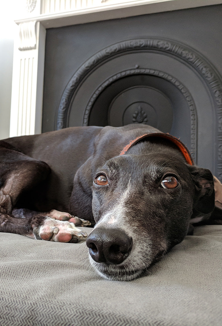 Greyhound lying on an Active Recovery orthopaedic dog bed made by Big Dog Bed Company