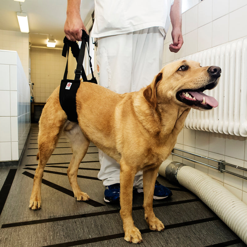 Veterinary technician using a Helping Hand Sling  Comfort version to assist a Labrador