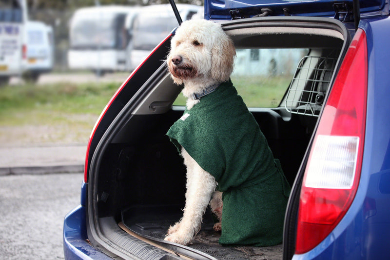 Labradoodle dog wearing a green drying coat in a car boot
