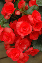 "Load image into Gallery viewer, 4"" Begonia 6 Pack"